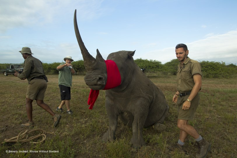 Rhinos Without Borders Capture Beverly Joubert
