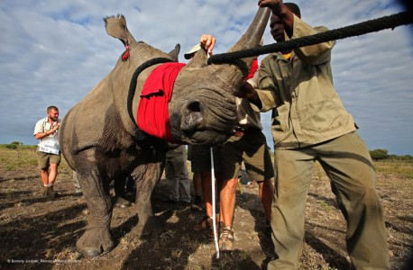 Conservationists move a rhino to a safer home