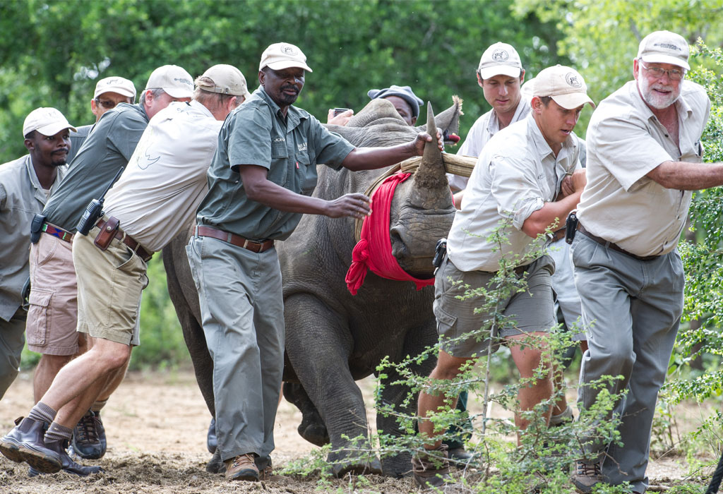 rhino capture The park this effort included the endangered rhino the capture unit's main objectives with regards to the endangered rhino were to control the population, expand.