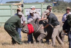 Releasing rhinos in Botswana