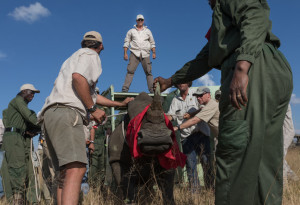 Unloading rhino into their new home in Botswana