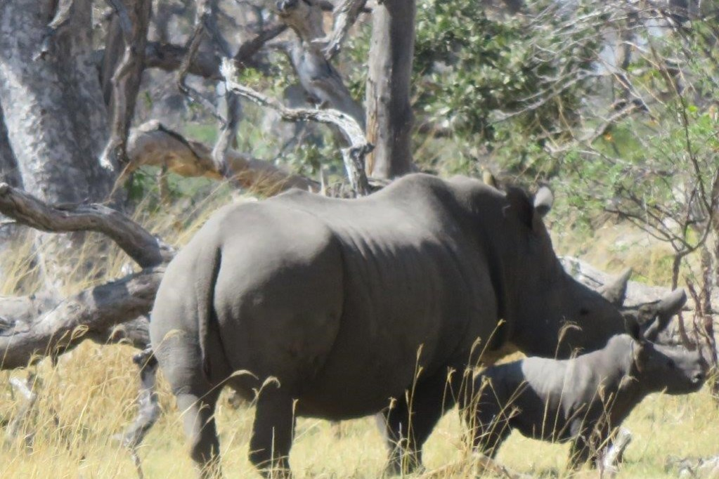 Rhino with it's young rhino bask in the sun