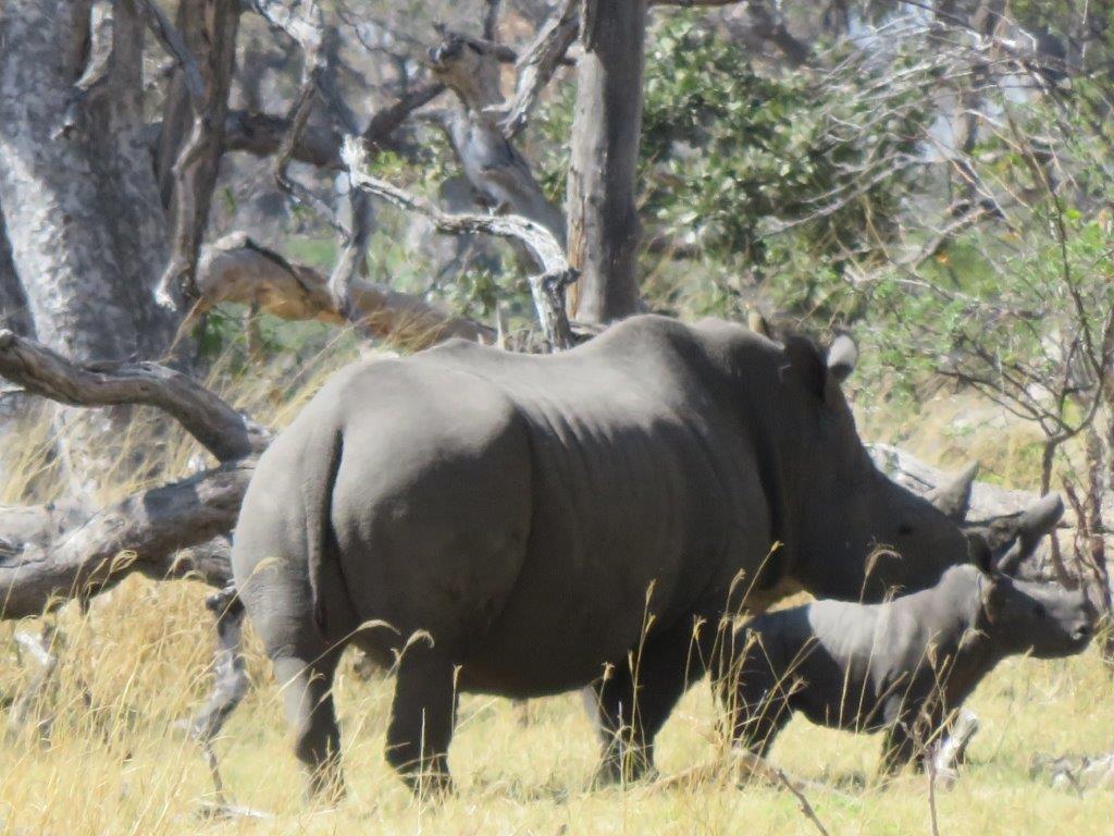 Rhino with it's young rhino bask in the sun