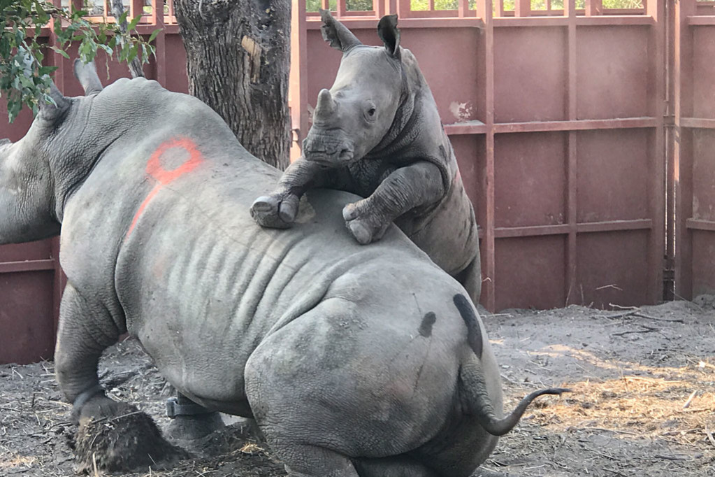 Rhinos calves in mobile bomas until they seen suckling